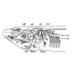 shark nerves vintage vector image