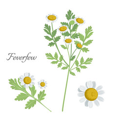 feverfew plant with blossom blooming flower vector image