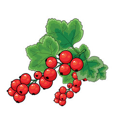 red currant bush with green leaves isolated vector image