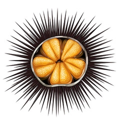 Urchin vector image