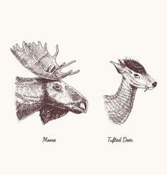 moose or eurasian elk tufted deer hand vector image