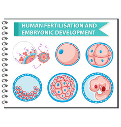 human fertilisation and embryonic development vector image