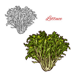 Lettuce sketch salad icon vector
