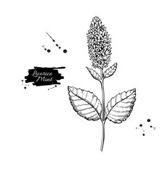 Licorice mint drawing hand drawn herb vector