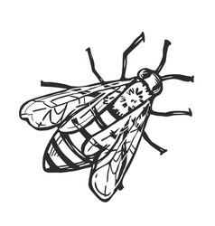 honey bee isolated freehand pencil drawing vector image