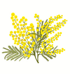 hand-drawn branch of mimosa isolated on white vector image vector image