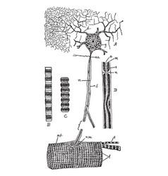 Muscular tissue vintage vector