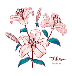 lilies flowers botanical drawing isolated vector image
