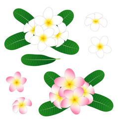 White and pink plumeria frangipani isolated vector