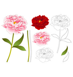 pink and red peony flower outline vector image vector image