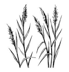 Hand drawn sketch of the reed isolated on white vector