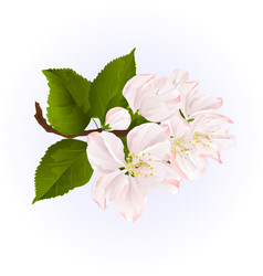 apple blossom twig with leaves blue background vector image vector image