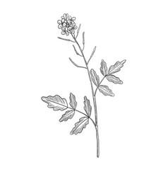 Drawing watercress flower vector