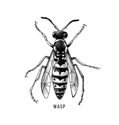 hand drawn wasp vector image