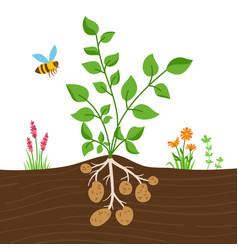 Potato plant leaves tubers vector