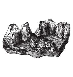 Acorn barnacles vintage vector