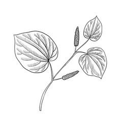 Drawing kava plant vector