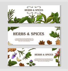 Card with place for text herbs banner in sketch vector