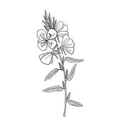 Drawing evening primrose vector