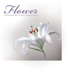 White Lilly Flower vector