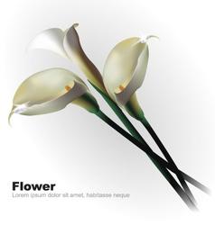 White calla flowers vector