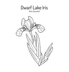 Dwarf lake iris iris lacustris state flower vector