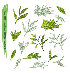leaves tea branch plant sketch drink vector image