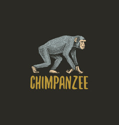 chimpanzee engraved hand drawn in old sketch style vector image vector image