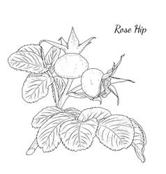 Rose hip Dog rose Hawthorne Wild plant berries vector