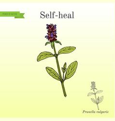 self-heal prunella vulgaris or allheal vector image