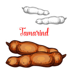 tamarind sketch exotic fruit icon vector image