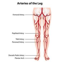 Arteries and veins leg vector