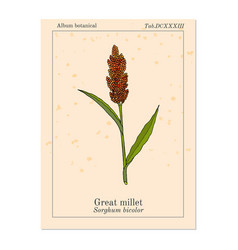Great millet sorghum bicolor cereal crop vector