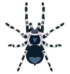Spider acanthoscurria geniculata vector