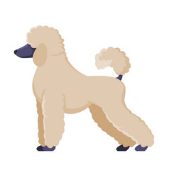 White poodle purebred dog pet animal side view vector