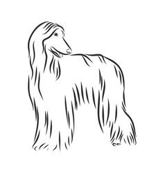 Sketch dog afghan hound breed vector