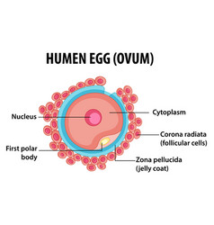 Human egg or ovum structure for health education vector