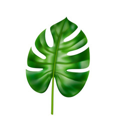 monstera leaf tropical and exotic leafage vector image