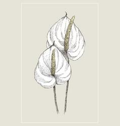 Vintage botanical flower anthurium vector