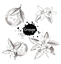 Set of isolated hand drawn oranges and flowers in vector image