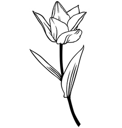 tulip lily contour vector image