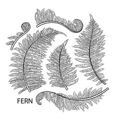 graphic fern leaves vector image vector image