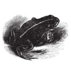 Natter jack toad vintage vector