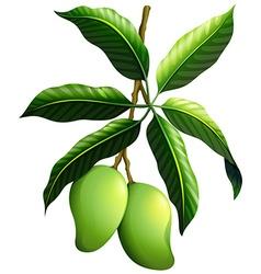 Fresh mango on the branch vector