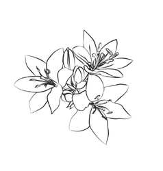 Lily sketch on white background vector image
