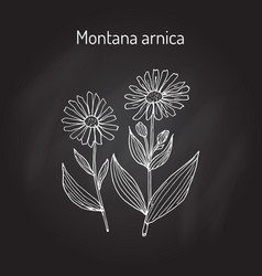 Medicinal herb arnica montana vector
