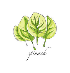 Spinach fresh culinary plant green seasoning vector