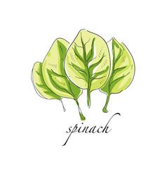 Spinach fresh culinary plant green seasoning vector