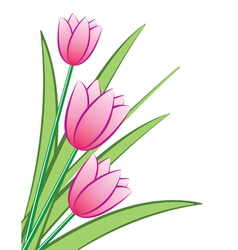 pink tulips vector image