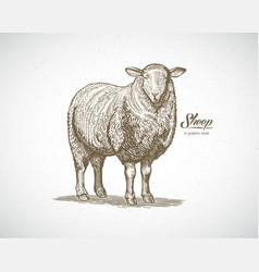 Sheep in graphic style drawn by hand on paper and vector